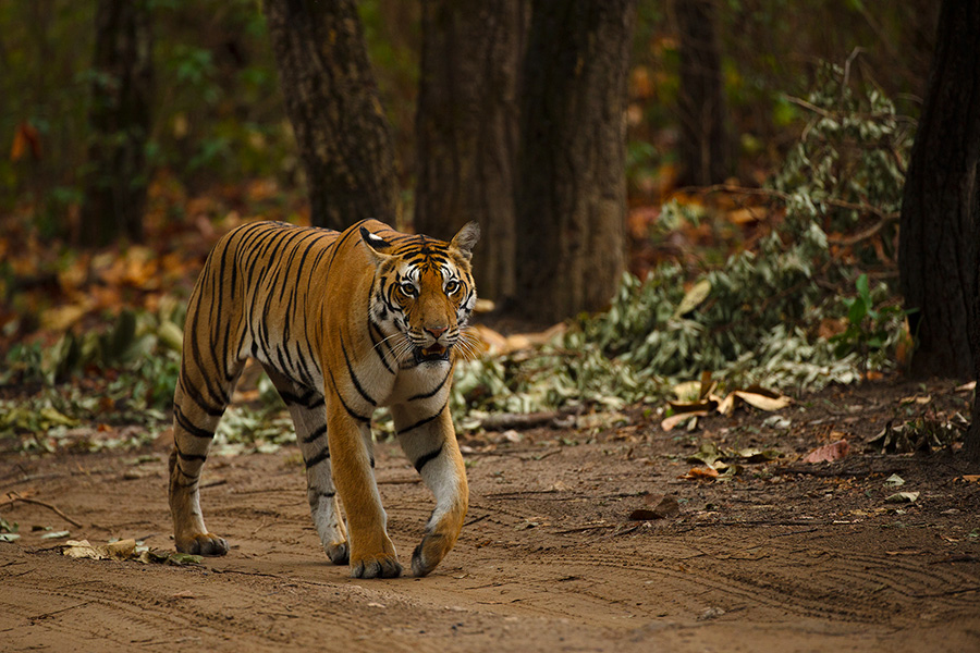 No Safaris in Bandipur National Park till further notice…